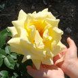 公園のバラ ③