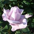 公園のバラ ⑤