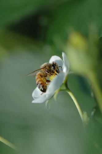 苺の花とミツバチ ②