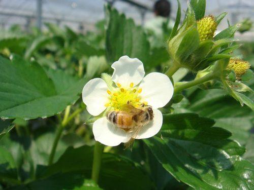 苺の花とミツバチ ①