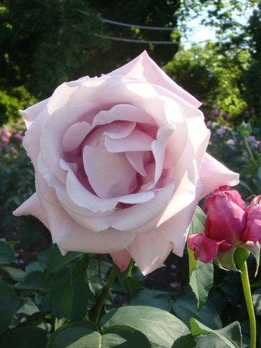 公園のバラ ④