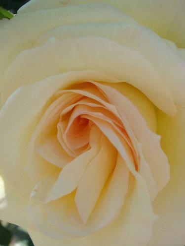 公園のバラ ⑥