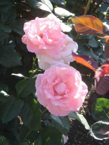 公園のバラ ②